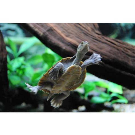 macleay river turtle amazing