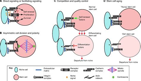 Adhesion In The Stem Cell Niche