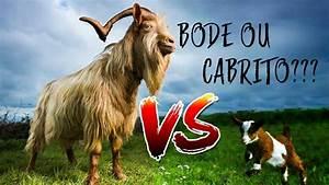 U00c9 Bode Ou  U00c9 Cabrito