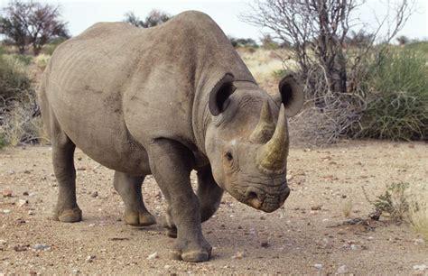 Black Rhinos Walking