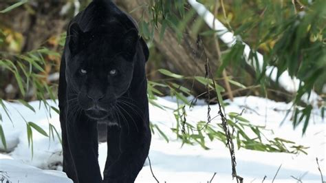 black panther hd animals  wallpapers images