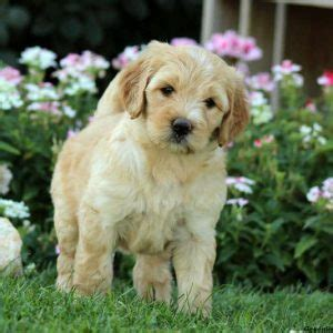 mini labradoodle puppies  sale greenfield puppies