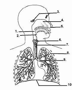 Respiratory System  U2013 Hsc Pdhpe