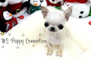 White Teacup Yorkie Puppies