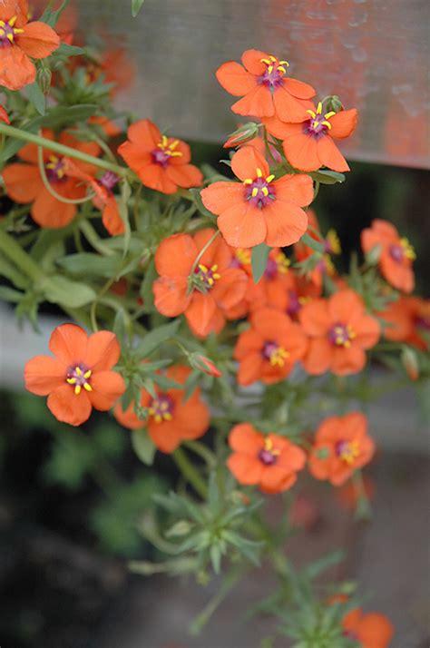 wildcat orange anagallis anagallis wildcat orange