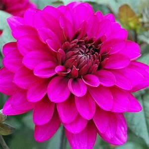 Dahlia 'Purple Flame' - Rose Cottage Plants