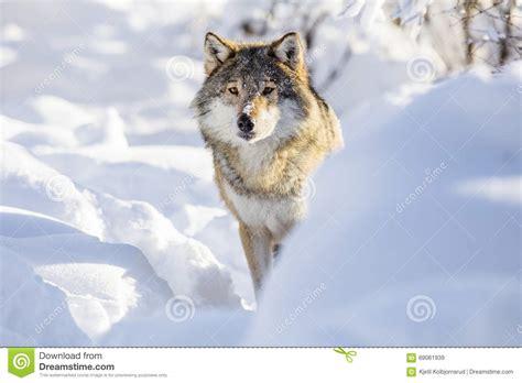 le loupe de bureau le loup se tient dans la neige blanche d 39 hiver photo