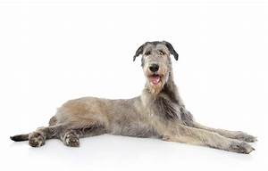 Irish Wolfhound | Dogs | Breed Information | Omlet