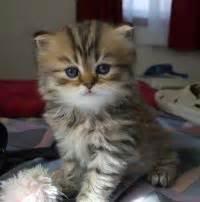 miniture cats miniature cats poc
