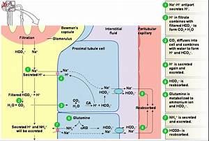 Kidney Electrolyte Balance