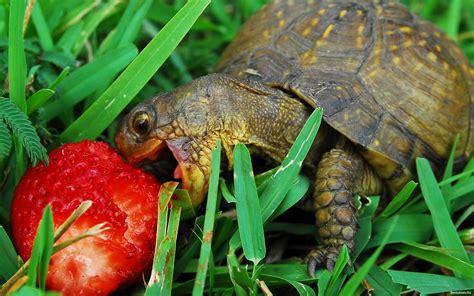 tartarughe alimentazione mondo dei rettili alimentazione delle tartarughe di terra