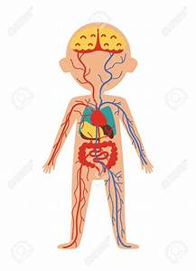 Human Internal Anatomy   Human Internal Anatomy Boy Body