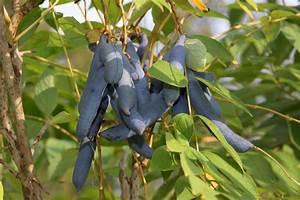 Baum Mit Langen Schoten : blaugurke ~ Lizthompson.info Haus und Dekorationen