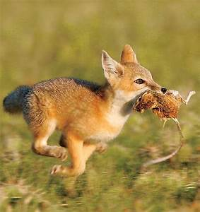Pictures of Foxes eating rabbits and mice | Animals eating ...