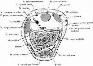 Cross Section Through Patella