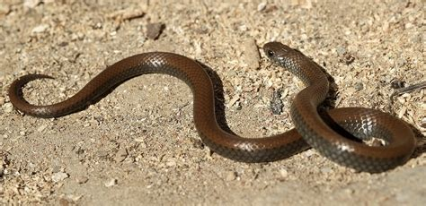 Snakes Under Threat For A Quick Buck  Iol News
