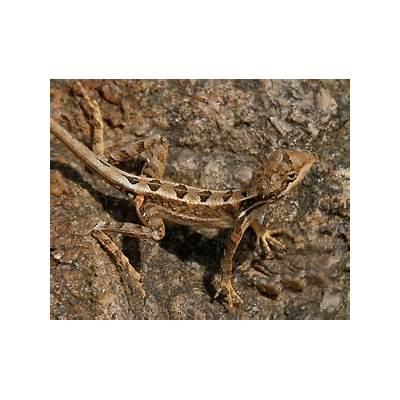 File:Fan-throated Lizard (Sitana ponticeriana) W2 IMG 7530.jpg - Wikimedia Commons