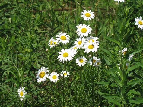 saline district library grounds ox eye daisy