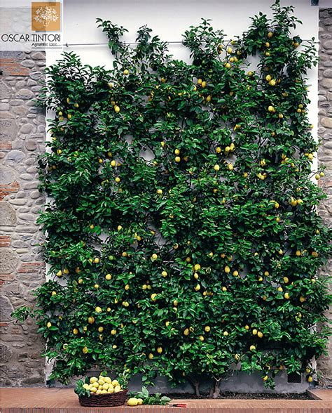 espalier fruit trees in containers espalier lemon doesnt need to be in a super formal shape just prune the parts that grow into