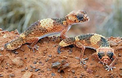 Gecko Tailed Knob Blooded Cold Lizard Lizards