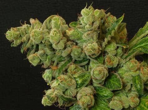 Le Pour Cannabis by R 233 Colte Du Cannabis Blog Du Growshop Alchimia
