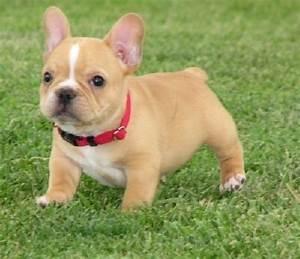 Mini French Bulldog Puppies | Cute French Bulldog puppies ...