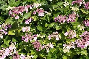 Hortensien Wann Schneiden : hortensien schneiden wann hortensien bauernhortensien ~ Lizthompson.info Haus und Dekorationen