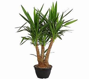 Yucca Palme Blüht : yucca palme verzweigt dehner garten center ~ Lizthompson.info Haus und Dekorationen