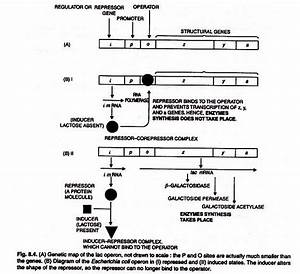 Regulation Of Gene Expression In Prokaryotes  With Diagram