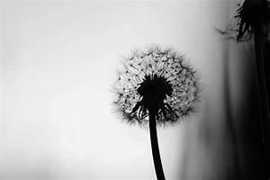 Bild Pusteblume Schwarz Weiß : verg nglichkeit bilder aus der natur kostenlos und lizenzfrei ~ Bigdaddyawards.com Haus und Dekorationen