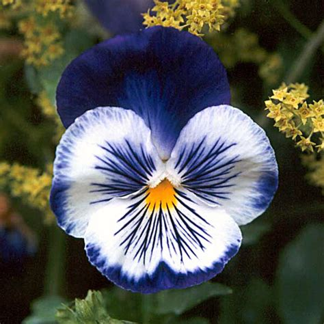 pansy flower facts pansies