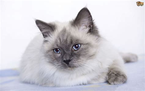The Top 8 Largest Domestic Cat Breeds