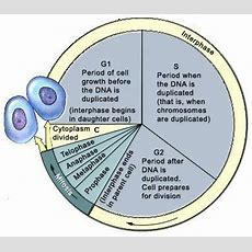 What Process In The Cell Cycle Occurs During Dna Duplication? Enotes