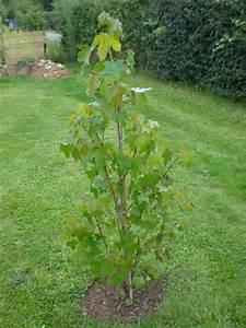 Arbre Croissance Rapide : arbre de jardin a croissance rapide maison design mail ~ Premium-room.com Idées de Décoration