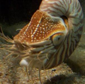 Which Phylum Mollusca Pictures
