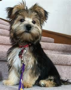 Black and White Morkie Adult