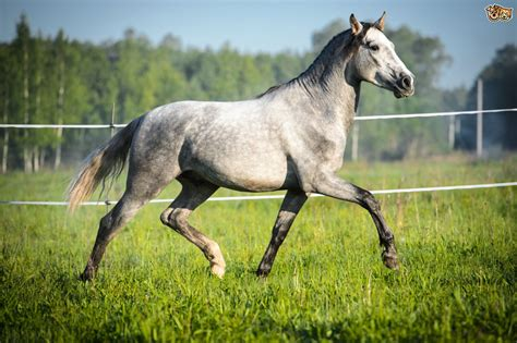 andalusian horse stallion pets4homes pet equestrian unusual ten sports grey