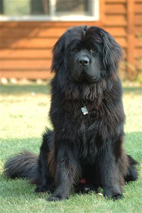 top  worlds largest dog breeds infobarrel