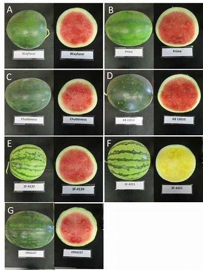 Watermelon Variety Varieties Seedless Watermelons Seeds Rind