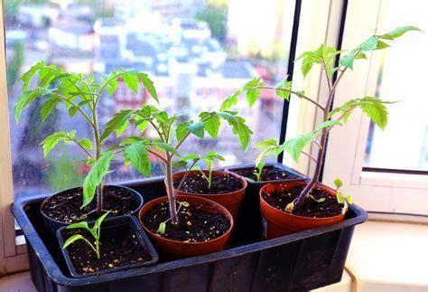 tomaten pflanzen anleitung tomaten pflanzen selber ziehen einfache anleitung f 252 r