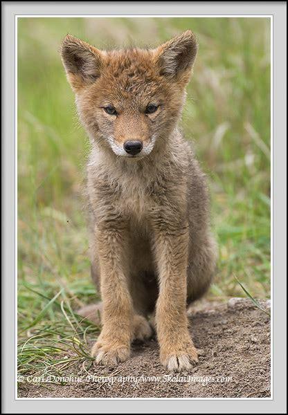 Baby Coyote Pups