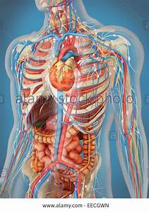 Internal Organs Of Human Body
