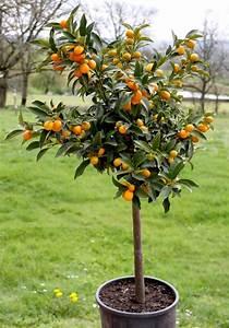 Planter Un Citronnier : comment planter un citronnier en pot 14 comment prendre ~ Melissatoandfro.com Idées de Décoration