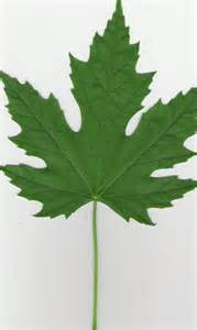 maple tree leaves file silver maple leaf jpg wikipedia