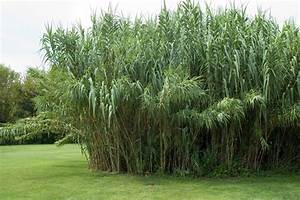 Sichtschutz Pflanzen Blühend : schilf als sichtschutz so pflanzen und pflegen sie die schilfhecke ~ Markanthonyermac.com Haus und Dekorationen