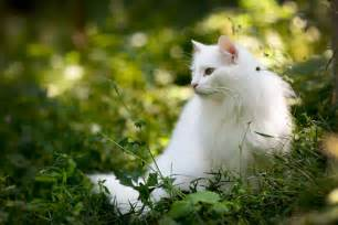 White Norwegian Forest Cats