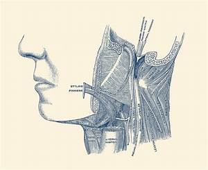 Neck And Jaw Muscular Diagram