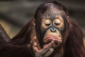 Apes, Animals, Wallpapers, Hd, Desktop, And, Mobile, Backgrounds