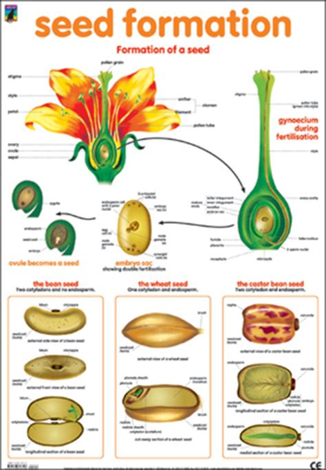 Decorate With Plants by Dominie Seed Formation Chart