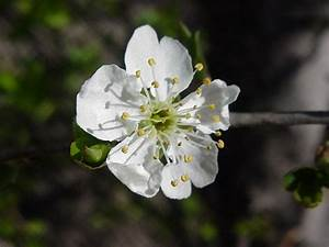 Fleur De Cerisier Signification : fleur du cerisier du japon et des fleurs ~ Melissatoandfro.com Idées de Décoration